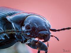 Shiny Black Beetle