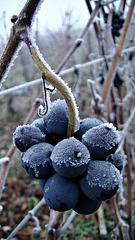 raisin givré....