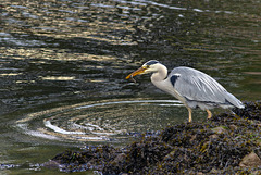 Grey Heron with an Eel