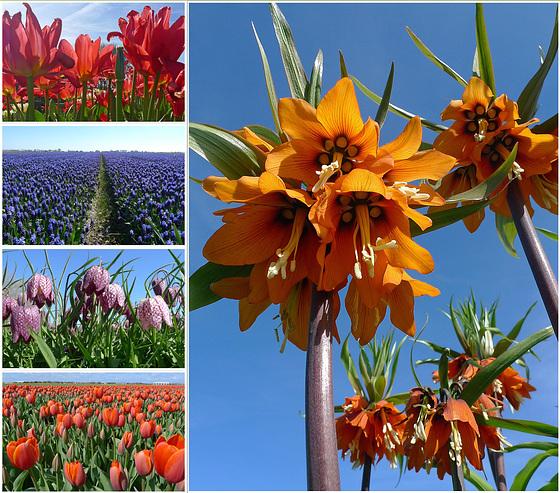 Nederland - Noord-Holland, bloeiende bollen