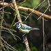 20170528 1773CPw [D~LIP] Blaumeise (Parus caeruleus), Bad Salzuflen