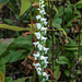 Spiranthes cernua (Nodding Ladies'-tresses orchid)