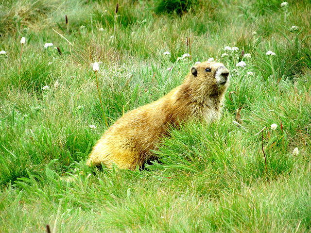 Olympic marmot (Marmota olympus) - Olympic National Park