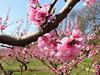 Les vergers sont en fleurs...en Drôme