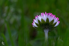 Pictures for Pam, Day 158: Pink-Tipped Daisy