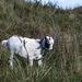 20140914 5269VRAw [NL] Ziege, Terschelling