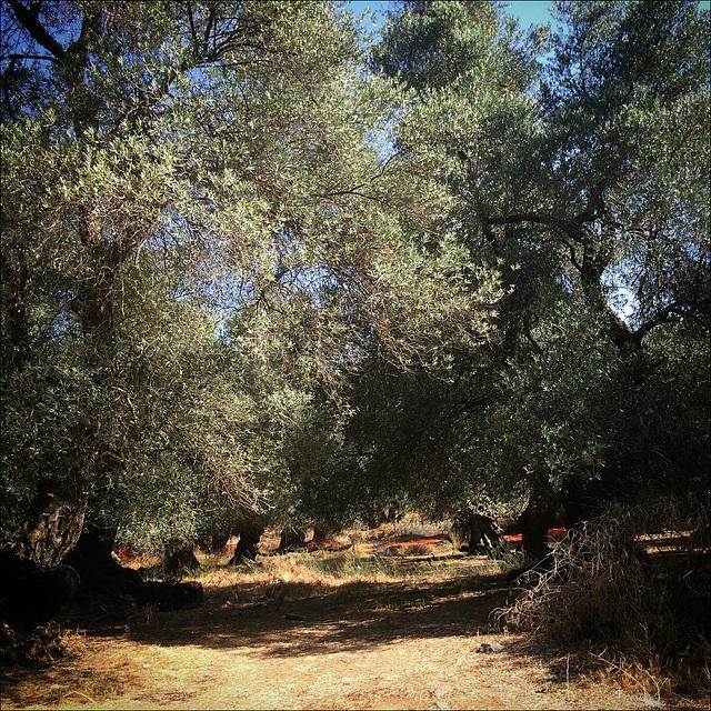 Η ελαιόδενδροs.