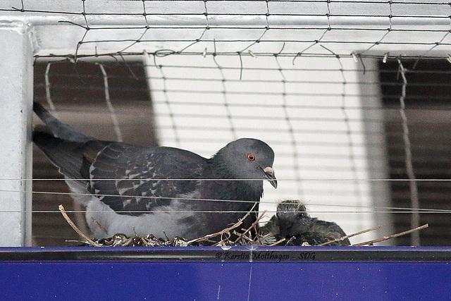 Taubenfamilie auf der Anzeige