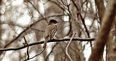 Olive-sided flycatcher.
