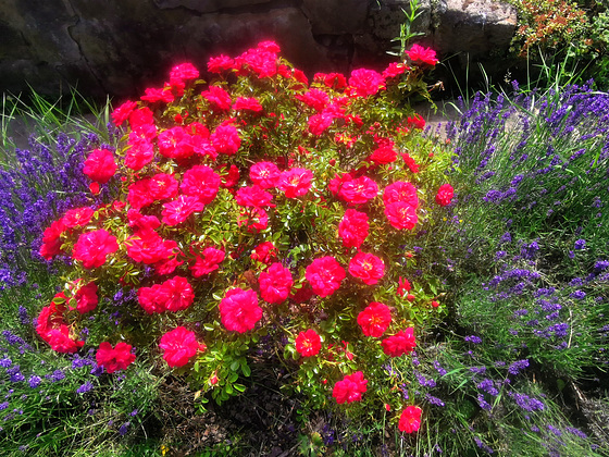 Rosen im Lavendelbeet