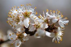 Fleurs de Prunellier