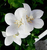 Des fleurs blanches pour Nice / White flowers for Nice