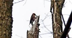 Northern Flicker woodpecker.