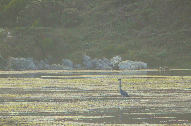 Grey heron in the mysterious morning