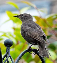 Starling (7)