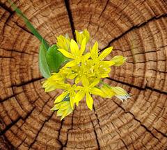 Allium Roseum Grandiflora