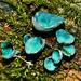 Green Elf Cup Fungus