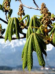 Kastanien-Blüten-Knospen...  ©UdoSm