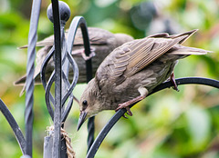 Starling (11)