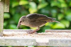 Starling (12)