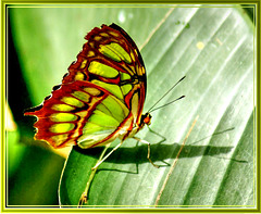 Green spotted swallowtail. ©UdoSm