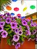 Genova : Petunie e ombrelli - (922)