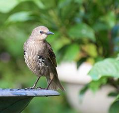 Starling (13)
