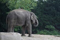 Elefantenjunge Assam (Hagenbeck)