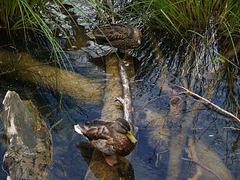 Plitvička Jezera, Ducks