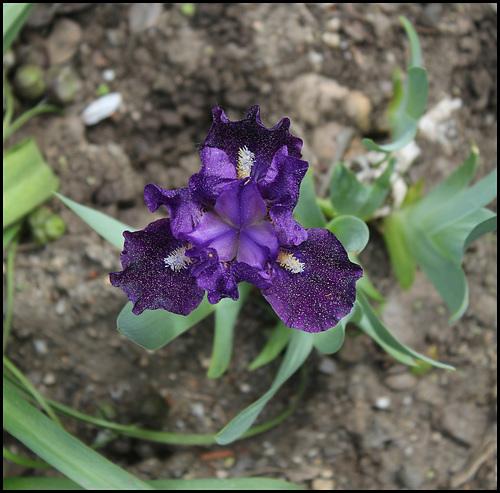 Iris Naos