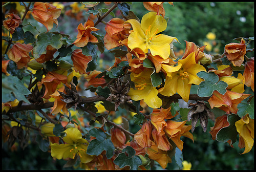 Fremontodendron (1)