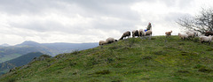 taking the sheep back from the mountain to the farm...