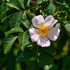 Wilde Rosenblüte (PiP)