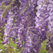 texture - background glycines (wisteria)