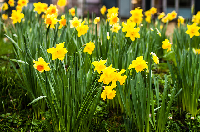 Hospital Daffodils