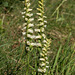 Spiranthes ochroleuca (Yellow Ladies'-tresses orchid)