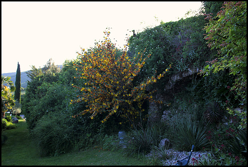 Fremontodendron (2)
