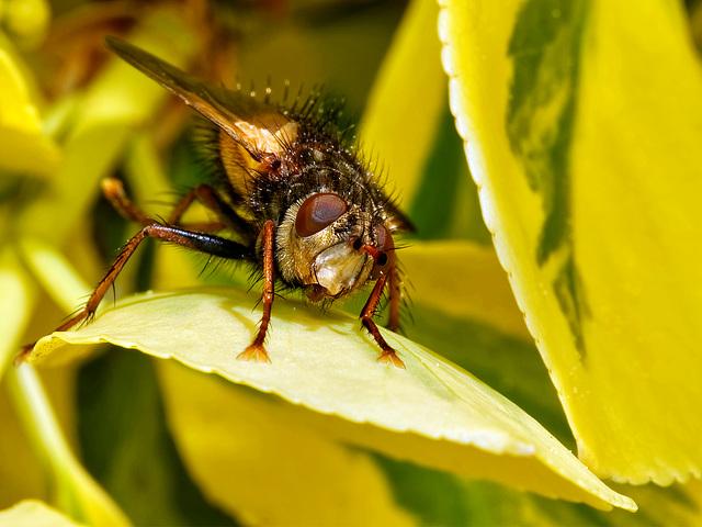 Fliegender Igel (PiP)