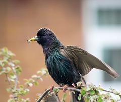 Starling 2 (2)