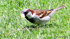 Sparrow With Crust.