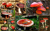 It's Autumn, so time for some red mushrooms from the Netherlands...