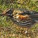 20180406 3602CPw [D~PI] Rotdrossel (Turdus iliacus), Helgoland