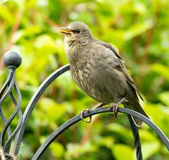 Starling chick (1)