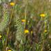 Trifolium angustifolium, Fabaceae, Rabo-de-gato