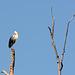 Киев, Ольгин остров, Серая Цапля на дереве / Kiev, Оlghin Island, Gray Heron on a tree