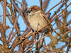 Amazing Grace - House sparrow - escaped the winter