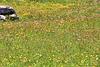 Wildblumenwiese auf der Hochalm Plätzwiese