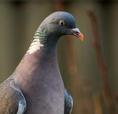 Woodpigeon close up