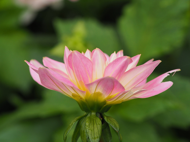 It's still Dahlia time !!