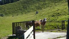 Galopp der Kühe 2020-07-29